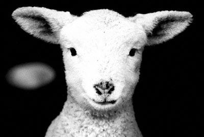 West Tisbury Lamb